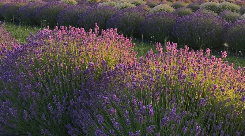 Blooming Fields of Lavender